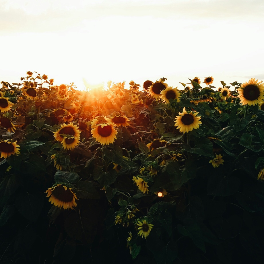 sunflowers-sunset-canada