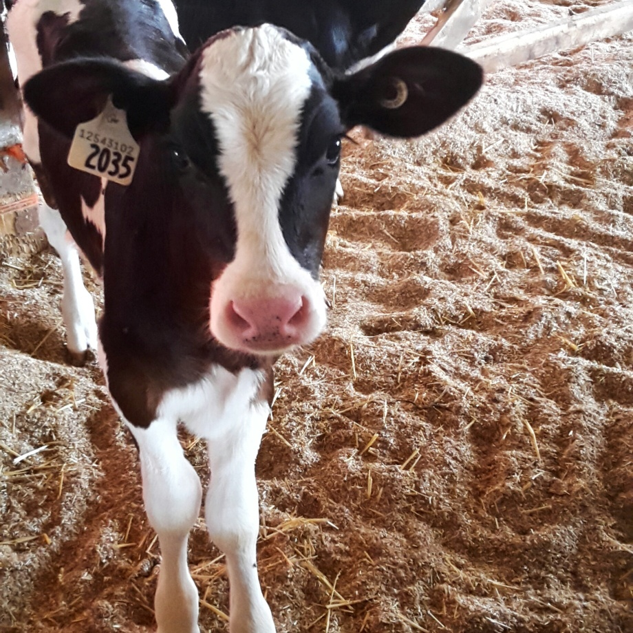 baby-cow-canada-1