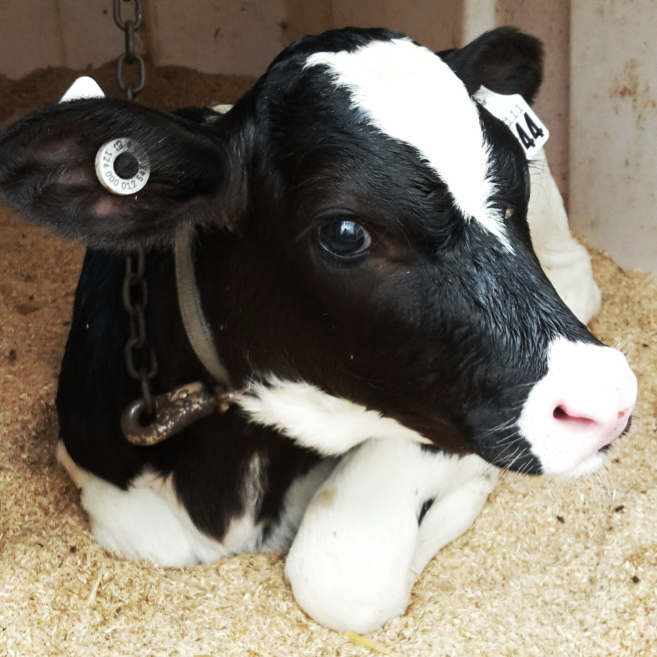baby-cow-canada-4